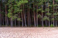 Северные сосны Стоковая Фотография RF