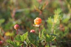 Северные ягоды Стоковая Фотография