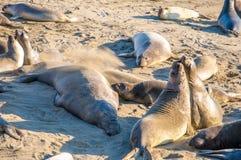 Северные angustirostris Mirounga уплотнений слона играя и спать на пляже на калифорнийском побережье Стоковые Фото