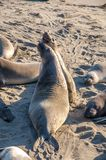 Северные angustirostris Mirounga уплотнений слона играя и спать на пляже на калифорнийском побережье Стоковое фото RF