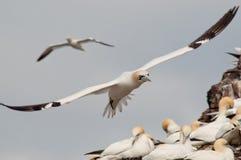 Северные gannets в полете Стоковые Фотографии RF