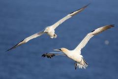 Северные gannets в полете Стоковая Фотография RF