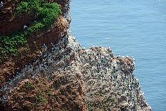 Северные gannets и guillemot Стоковые Фото