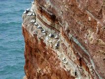 Северные gannets на скале, Heligoland, Германии Стоковые Изображения RF