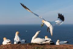 Северные gannets строя гнездо на немецком острове Helgoland Стоковая Фотография