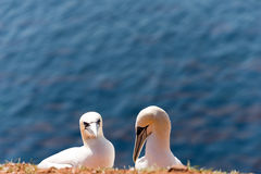 Северные gannets Стоковое фото RF