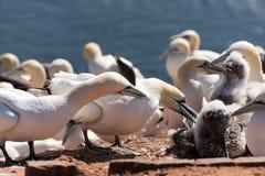 Северные gannets Стоковые Изображения