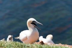 Северные gannets Стоковая Фотография