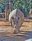 Северный белый носорог, cottoni simum Ceratotherium, сегодня только последние 2 носорога стоковые изображения