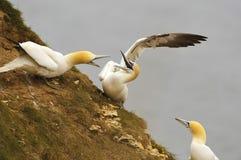 Северный бой Gannets над местом гнезда Стоковая Фотография