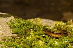 Северный 2-выровнянный саламандр Стоковое Изображение