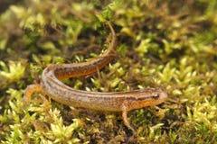 Северный 2-выровнянный саламандр (bislineata Eurycea) Стоковое Изображение RF