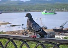 Северный голубь Стоковое фото RF
