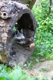 Северный енот Стоковая Фотография