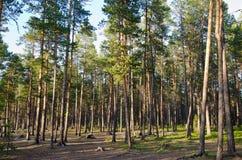 Северный лес Стоковая Фотография RF