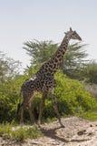 Северный жираф Стоковое Изображение RF