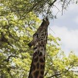 Северный жираф Стоковое Изображение