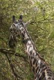 Северный жираф Стоковые Изображения RF