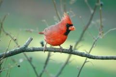 Северный кардинал (мужчина) стоковое изображение