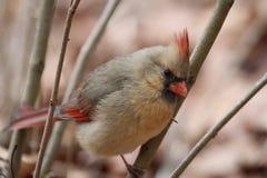 Северный кардинал Стоковая Фотография RF