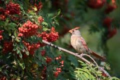 Северный кардинал в золе горы с сбором осени ягод Стоковые Фото