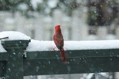 Северный кардинал в снежке Стоковое фото RF