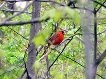 Северный кардинал ый в дереве Стоковые Изображения