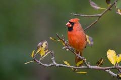 Северный кардинал Стоковое Изображение