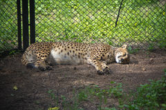 Северный китайский леопард отдыхая в клетке ЗООПАРКА Стоковое Изображение