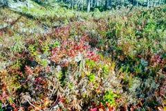 Северный край леса осени с кустарниками карлика стоковое изображение