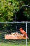 Северный красный кардинал стоковая фотография