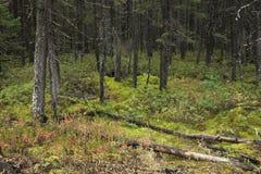 Северный лес Минесоты во время осени Стоковая Фотография