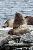 Северный морсой лев или морсой лев Steller на Камчатке Стоковое фото RF