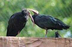 Северный облыселый ibis, eremita Geronticus Стоковые Изображения RF