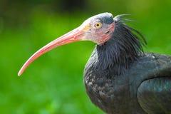 Северный облыселый ibis Стоковое Изображение