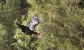 Северный облыселый Ibis (eremita Geronticus) Стоковое Изображение RF