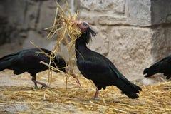 Северный облыселый Ibis (eremita Geronticus) Стоковые Фотографии RF