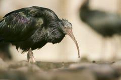 Северный облыселый Ibis (eremita Geronticus) Стоковая Фотография