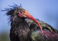 Северный облыселый Ibis (eremita Geronticus) Стоковое Изображение