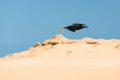 Северный облыселый ibis, Tamri, Марокко Стоковое Изображение