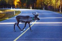 Северный олень в движении Стоковые Фотографии RF