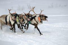 северный олень гонки Стоковые Фотографии RF