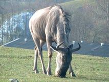 Северный олень есть траву Стоковое фото RF