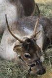 Северный олень кладя в кучу сена Стоковые Фотографии RF