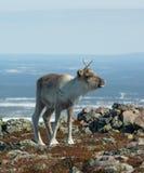 северный олень младенца Стоковое фото RF