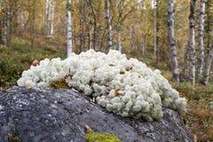 северный олень мха Стоковые Изображения RF