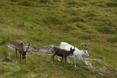 северный олень Норвегии Стоковые Фото