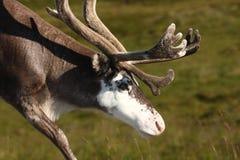 северный олень Норвегии Стоковые Фотографии RF