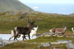 северный олень Норвегии Стоковое Изображение