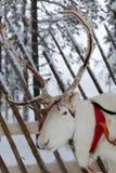 Северный олень от севера Финляндии Стоковые Фото